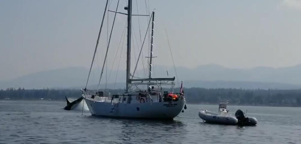 Visiting orca takes anchored sailboat for a joyride