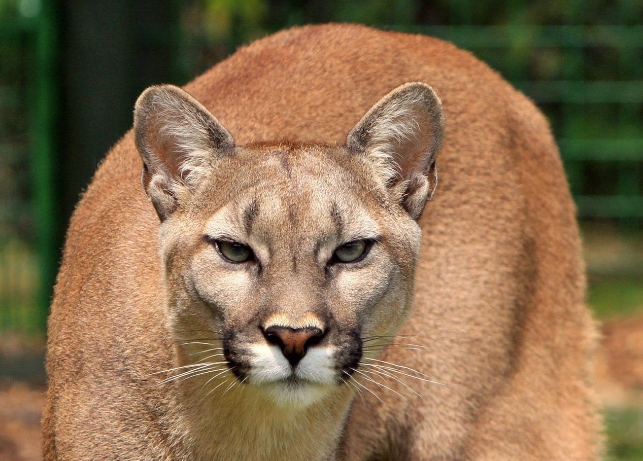 Cougar shot and killed in Campbell River backyard - My Comox Valley Now